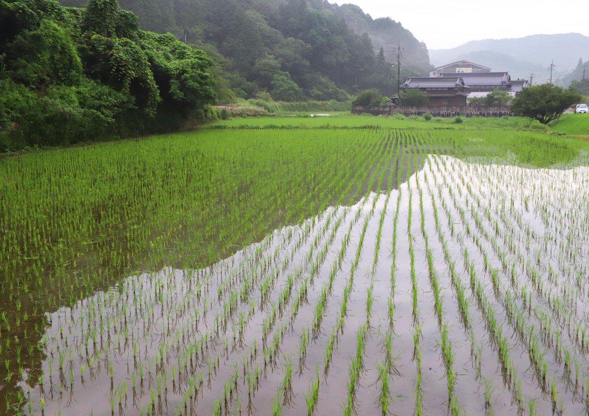 田植えが終わったばかりの美祢の田んぼ。青苗のそよぐ水面が、近くの山の端を映し出していました(^^)