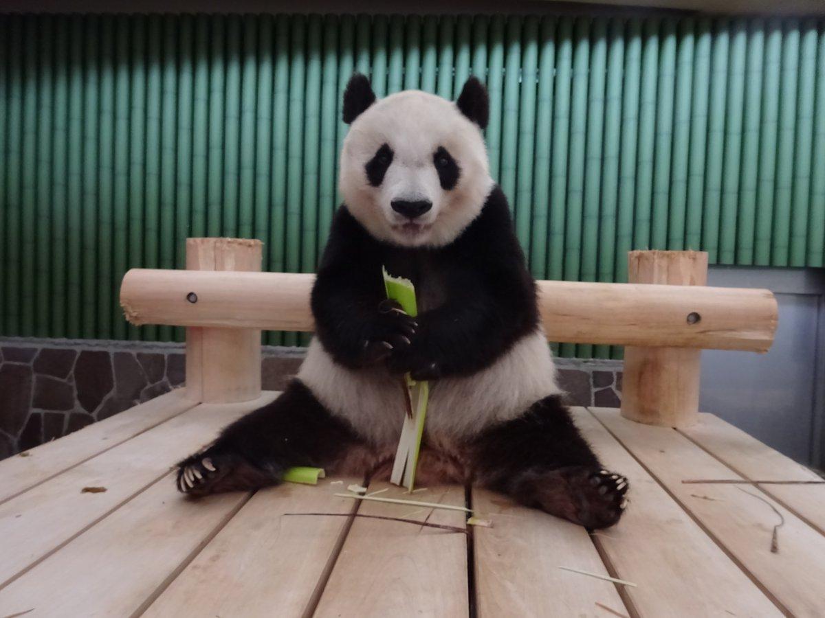 たんたんさん、今日もお疲れ様でした!晩御飯にあげたタケノコを、大事そうに持ちながら、こちらへカメラ目線をくれました☺️たくさんの食べてくださいね。#きょうのタンタン #王子動物園#あなたが笑うとぼくもうれしい#またあしたね