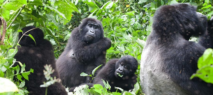 What makes gorilla trekking special is the fact that the activity involves a very memorable way of seeing mountain gorillas in their natural habitat. https://t.co/PGADAy9dm8 #Ugandagorillasafaris #ugandagorillatrekkingtours #Ugandagorillatours #Ugandagorillatrekkingsafaris https://t.co/KGcaprTgNi