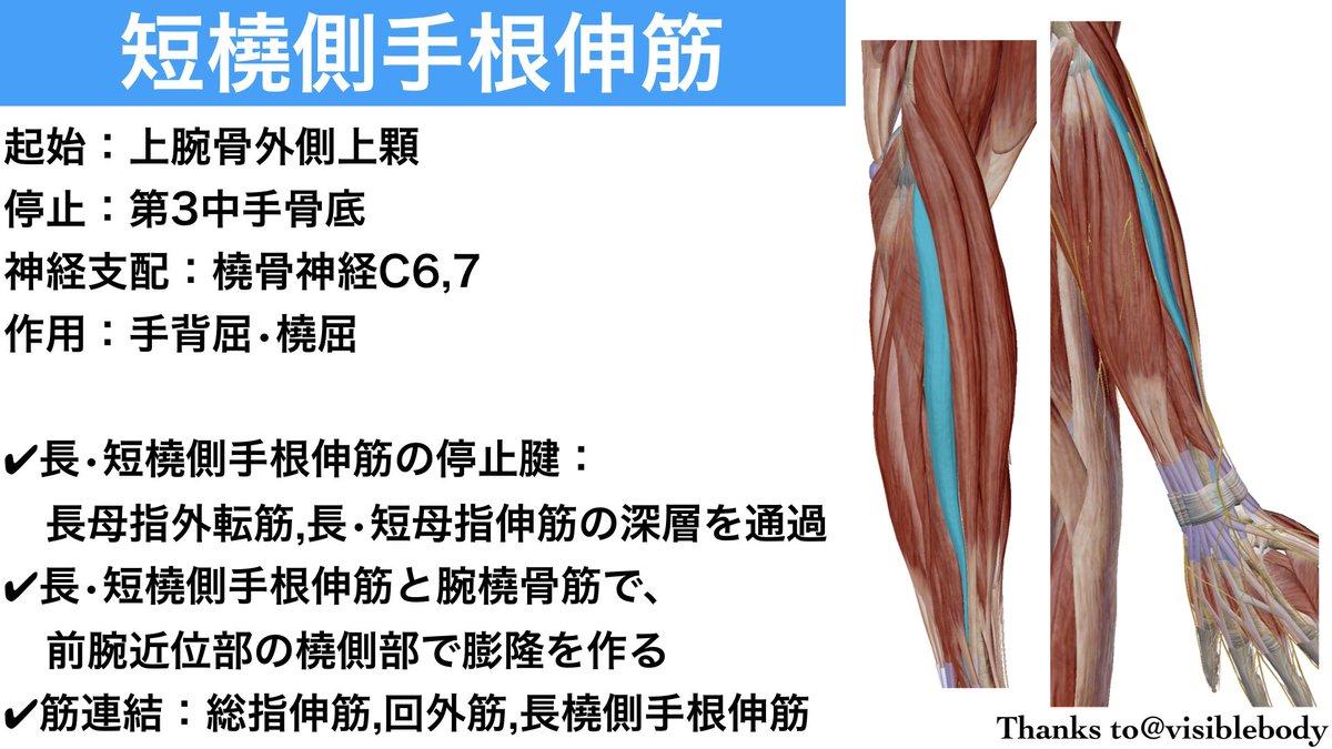 筋 手 根 伸 長 橈側