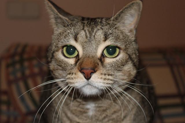 """Mis cuatro gatos: Sebastian, Greta, Clara y Merlín, que es muy tímido y se asusta de la cámara. Son tan cariñosos y buenos como mis seis perros. """"Quien no ama a los animales tiene una parte del alma muerta"""", Anatole France. pic.twitter.com/Ss1eUa5aIx"""