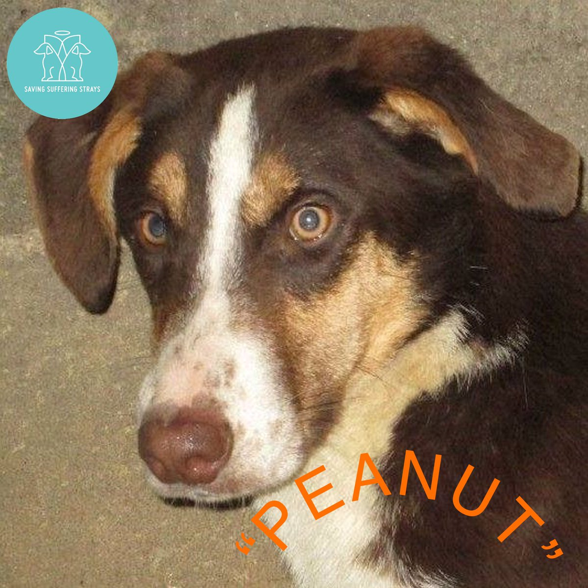 """""""MEET Our Dogs MONDAY """"  It's that time of week again when we introduce just some of the brave rescue dogs we have in our care  Meet 'PEANUT' PEANUT and his siblings were fed by Milena on the streets until that was no longer safe so she took them in.pic.twitter.com/WpR84VYucV"""