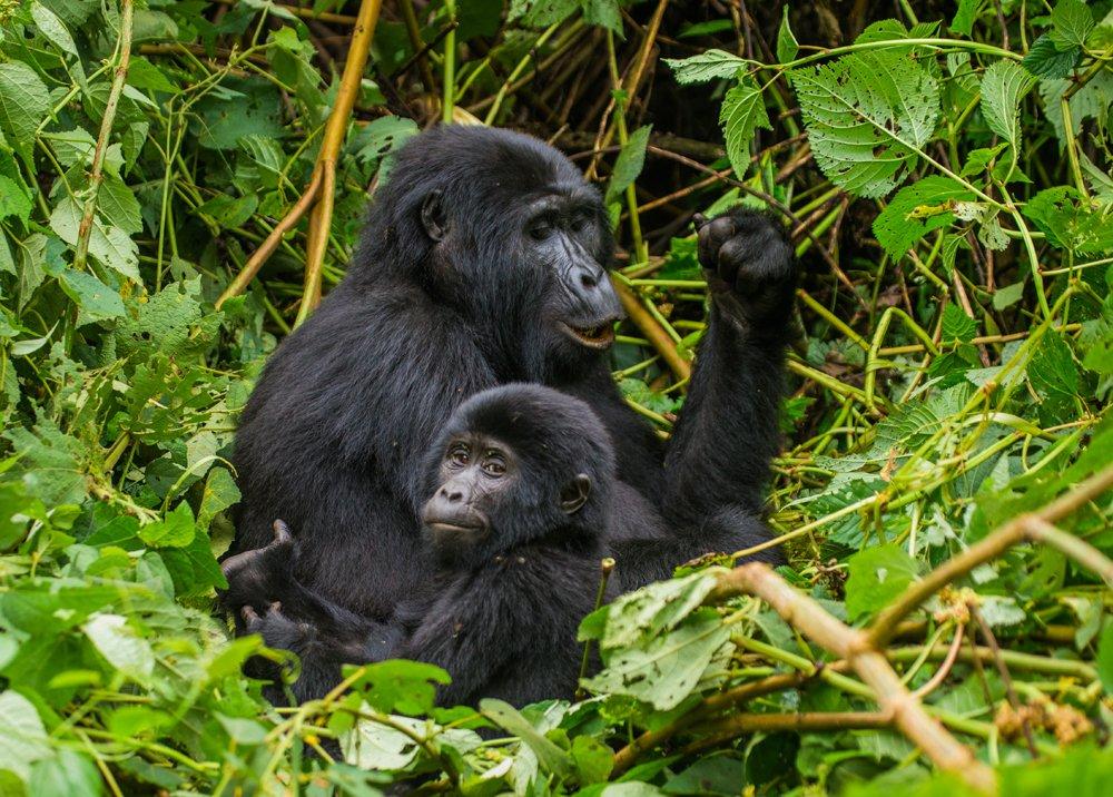 #Gorilla Tracking - The unique opportunity to see gorillas in their natural habitat is unforgettable.  See More - https://t.co/dT6i1bYS1D  #gorillatracking #ugandagorillatrekking #bwindiimpenetrablenationalpark #gorillasafariuganda #babygorilla #touristlink #travelagain #wildlife https://t.co/bs27BOV6ui