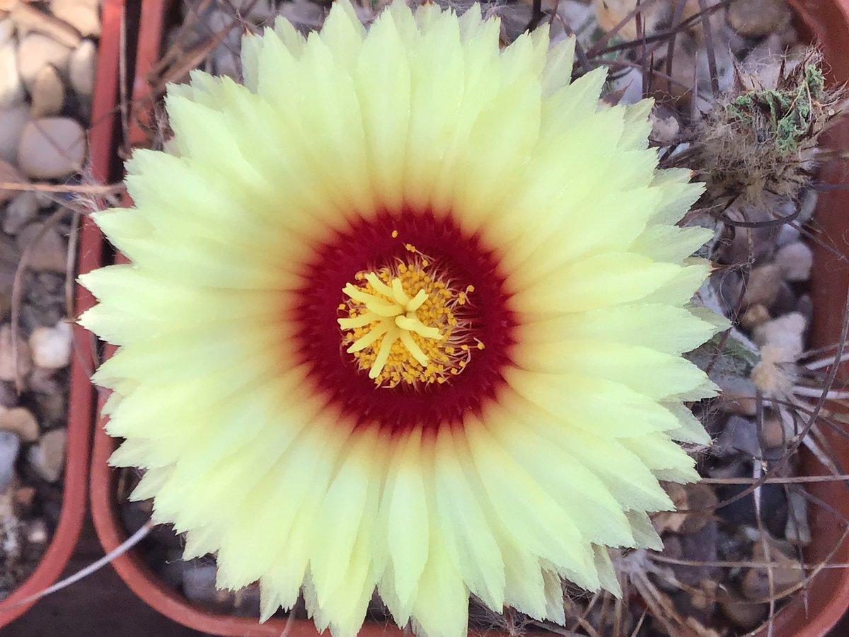 Astrophytum capricorne flower, simple as that #BCSS #KirkstoneBotanica #CactusSucculent #geophyte #Xerophyte #KirkstoneCacti #AstrophytumCollection #Echinocactanaepic.twitter.com/jzOdZpRjV1