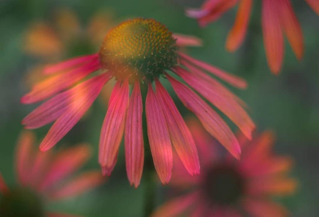 Echinacea beauty. . . . #tripleexposure #multiexposure #incamera #multipleexposure #echinacea #flowers #flowerlovers #floweroftheday #flowerstagram #nature #naturelovers #naturephotography #dof #raw_depthoffield #dof_brilliance #explore_dof #dofnature #b… https://instagr.am/p/CDGSenOjua0/pic.twitter.com/twF9oZyRzY