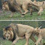 急所をガブリ!? 雄ライオン、繁殖期にはとっても苦労されている模様!