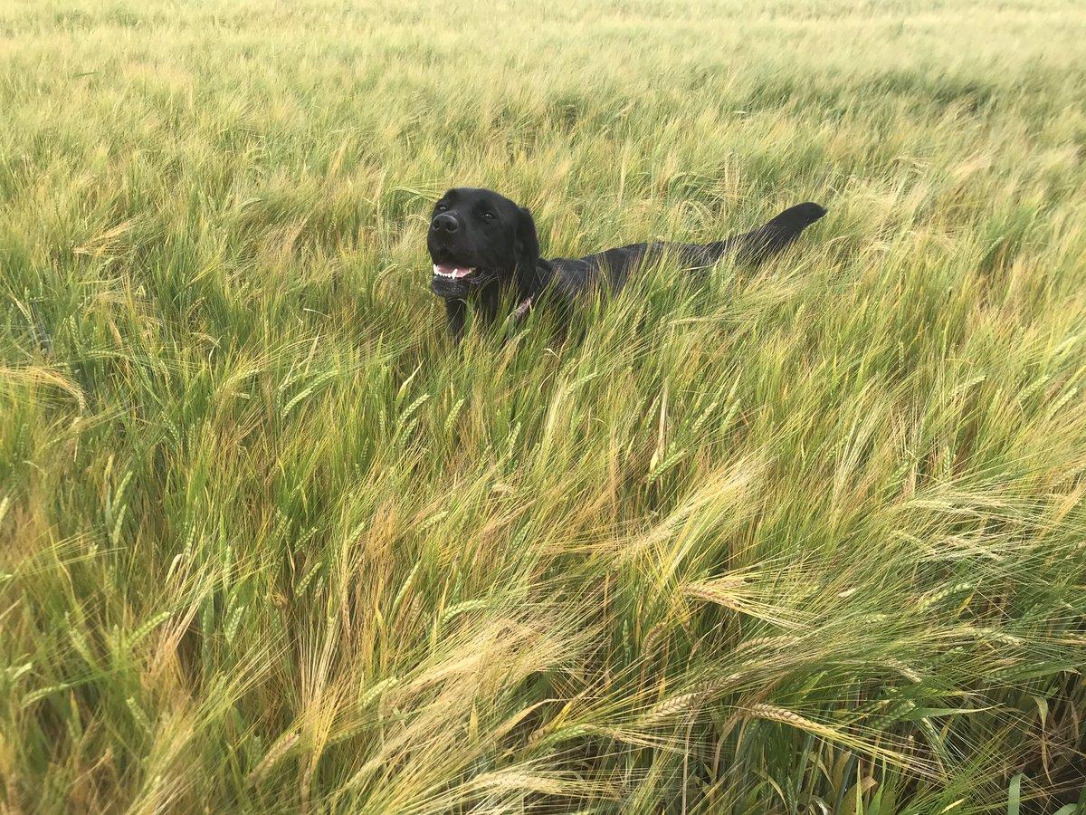 Happy 6th birthday Bramble!! Our v happy scoundrel!! @emwiggsy #labrador #happydog https://t.co/b8oHnFQ4iw