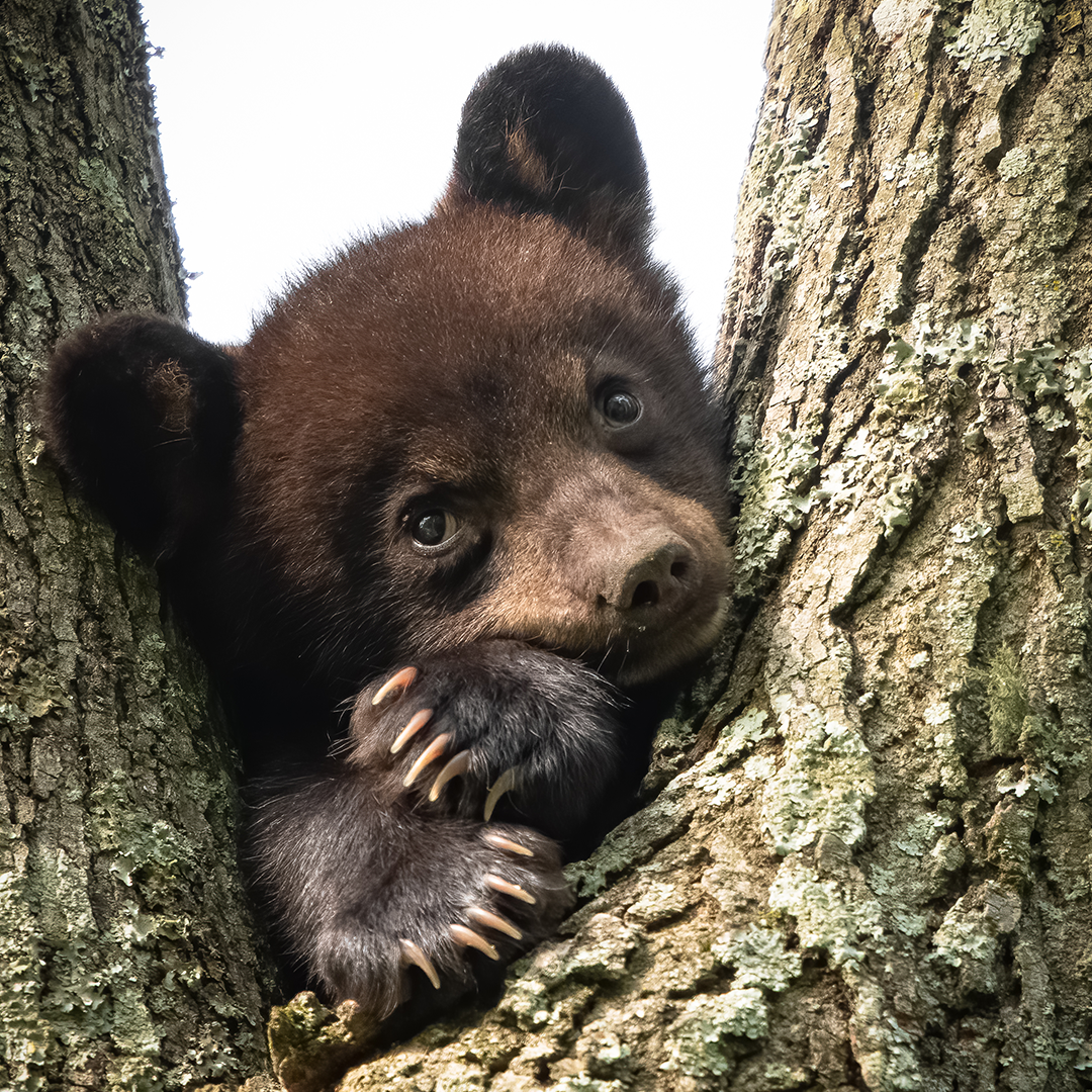 Plotting world domination or just thinking about dinner?⁣ Plant foods make up the majority of a black bears diet, but they have been known to venture into rural areas to eat human food.⁣ #EarthCapture by Jennifer Hadley