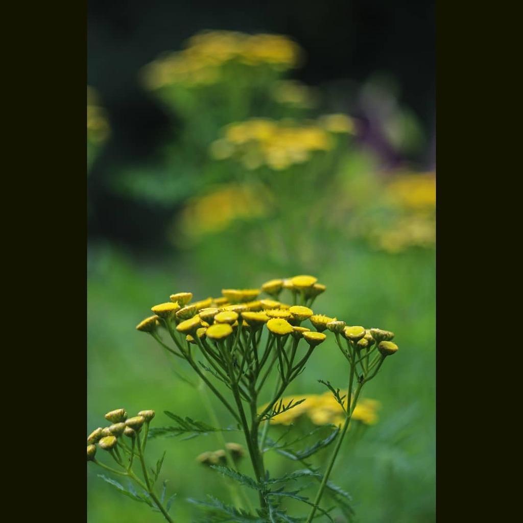 Yellow achillea, brightening up the grass garden. . . . #achillea #yarrow #flowers #flowerlovers #floweroftheday #flowerstagram #nature #naturelovers #naturephotography #dof #raw_depthoffield #dof_brilliance #explore_dof #dofnature #bokeh #bokehlicious #… https://instagr.am/p/CDHbux-Dxhr/pic.twitter.com/S7M5oBz2hk