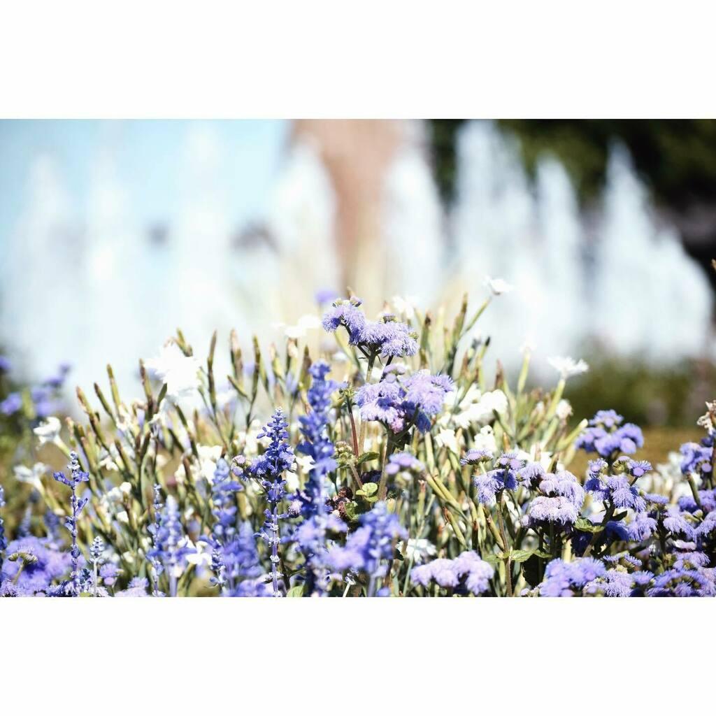 久しぶりに気持ちの良い青空。  It's nice to have a fine blue sky back.  #photography #charming_nature_ #naturephotography #lensloves_nature #igscflowers #igc_nature #explore_dof #tv_fadingbeauty #artistry_flair #dof_of_our_world #dof_brilliance #bokeh… https://instagr.am/p/CDH1j9IpXPg/pic.twitter.com/b3Gx0WieIT