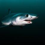 Image for the Tweet beginning: Dear @BernJordanMP: Endangered mako sharks