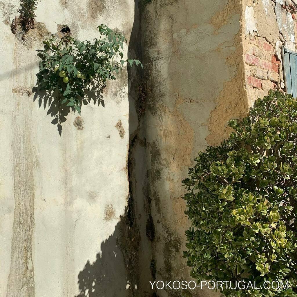 test ツイッターメディア - 隣の家の壁に生えているトマト。もうすぐ収穫できそうです。天気の良いポルトガルでは植物がどこでも元気に育ちます。 #リスボン #ポルトガル https://t.co/U3OpmKxJvy