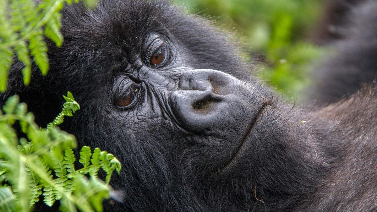 Amidst the COVID-19 pandemic, gorilla trekking is open in Rwanda with permits on a discount. Here is the most relevant information as well as packages  https://t.co/KUMlHJX2vH #gorillacousinsrwanda #gorillatourrwanda #Rwandagorillasafari #Rwandagorillatrekking https://t.co/9M8nbzkEiU