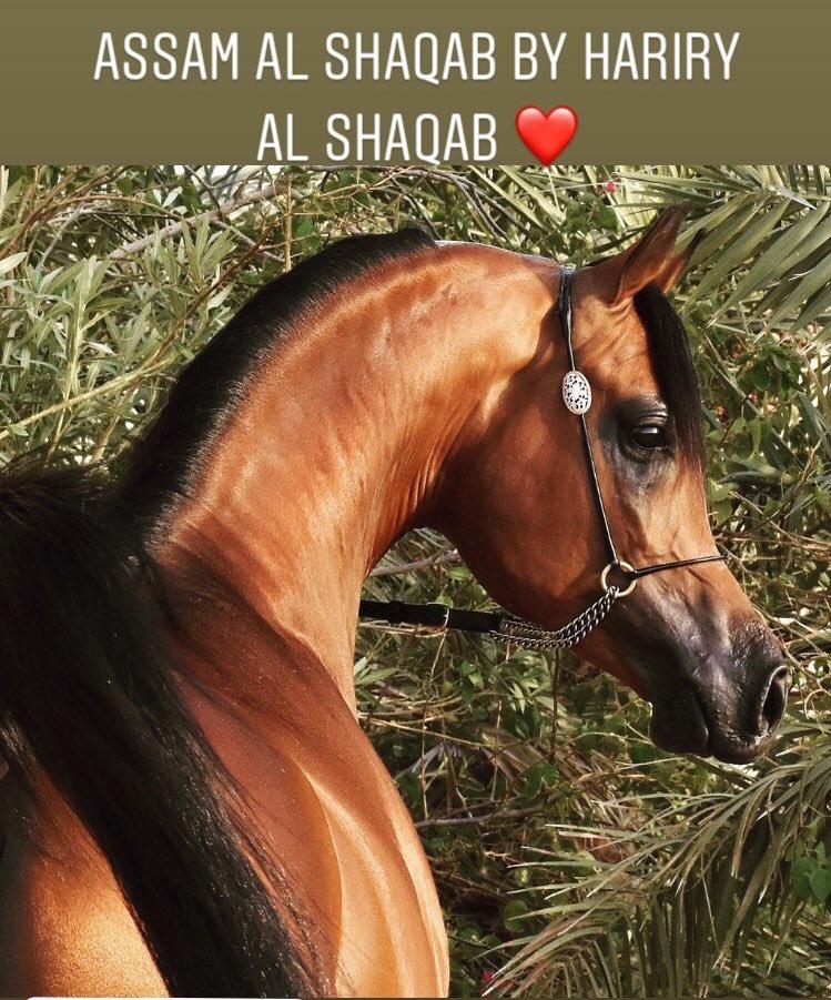 #assam_al_shaqab  by #hariry_al_shaqab out of Hathfa Al Shaqab (Al Added Al Shaqab x Kajora)   #مربط_الأصايل #السعودية #الرياض #ابوظبي #دبي #خيل #الجواد_العربي #حصان #خيول #الخيل_العربية #بطولة_أبوظبي #بطولة_الشراع  #stallion #colt #KSA #horse #horses #ArabianHorse https://t.co/WQmrrQl9w8