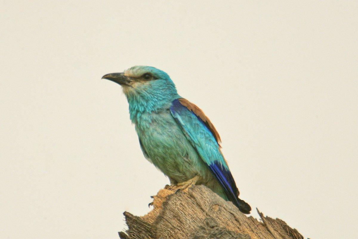 Abyssinian Roller Arabic: شقراق حبشي  Location: #Jizan #Jazan Region #SaudiArabia الموقع: منطقة #جيزان #جازان #السعودية  #birds #wildlife #nature #photography #saudiarabia #photographers #amazing #travel #tourism #beauty #photo #ksa #beautiful @SaudiMagazine @IASArabia https://t.co/xciRatjSNN