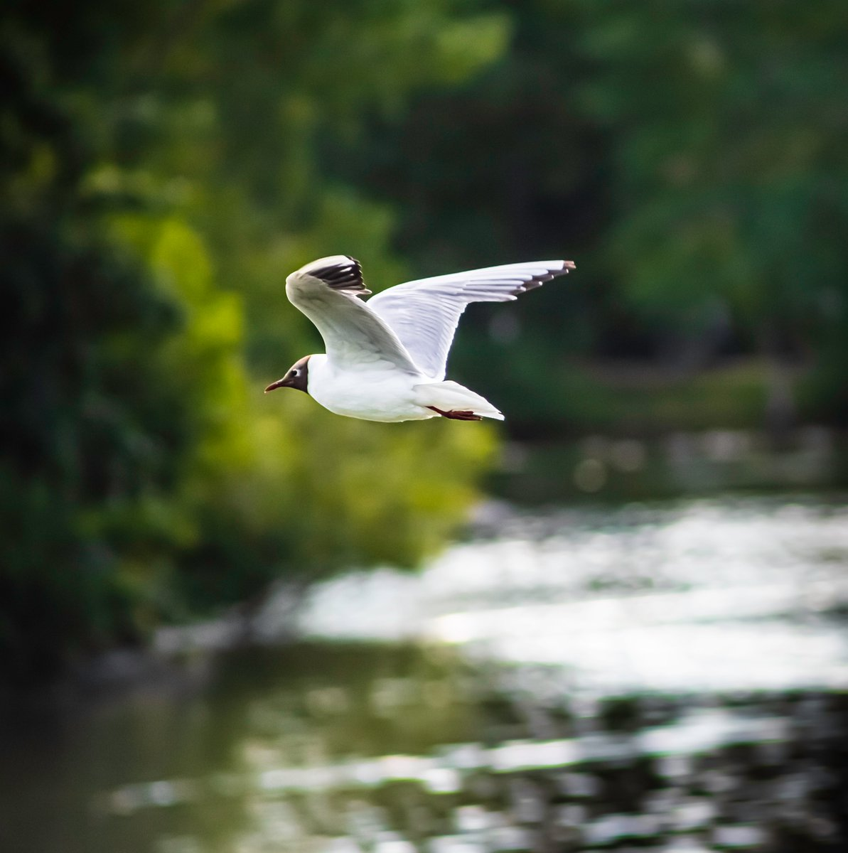 Another from my recent lake visit.  #naturelovers #birdwatching #wildlifephotography #birdphotography #wildlifephoto #wildlifelovers #birds #nature #bird #animals #gull #animal #photography