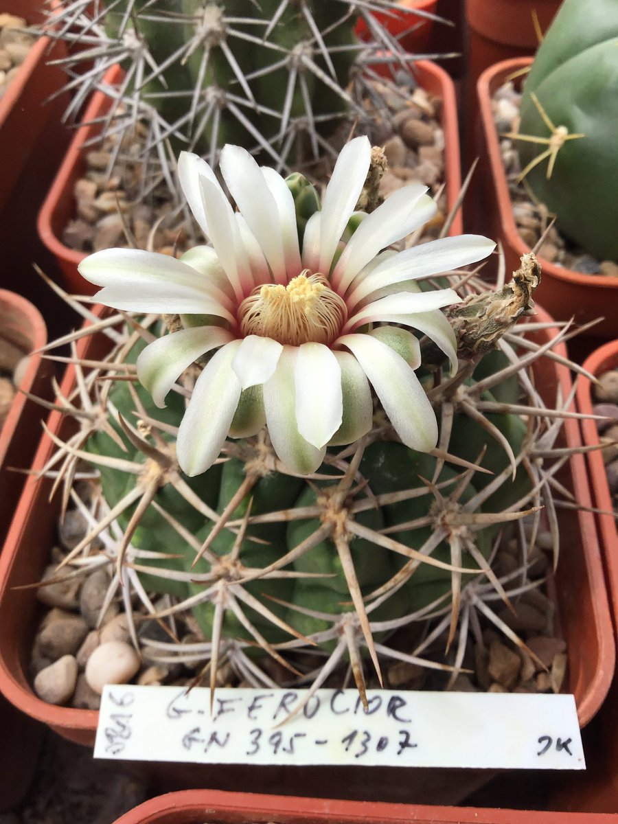Gymnocalycium ferocior maintaining herbflowering longevity into the third month - ferociously fecund ifnothing else#BCSS #KirkstoneBotanica #cactusSucculent #GymnocalyciumCollection #KirkstoneCactipic.twitter.com/MXN5WRP2Gf