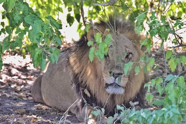 Peekaboo   📷🦁 - Client - Pawel B (2020 safari)  #lion #lions #pride #hideandseek #safari #botswana #love #nature #explore #travel #happy #botswanasafari #lelobusafaris