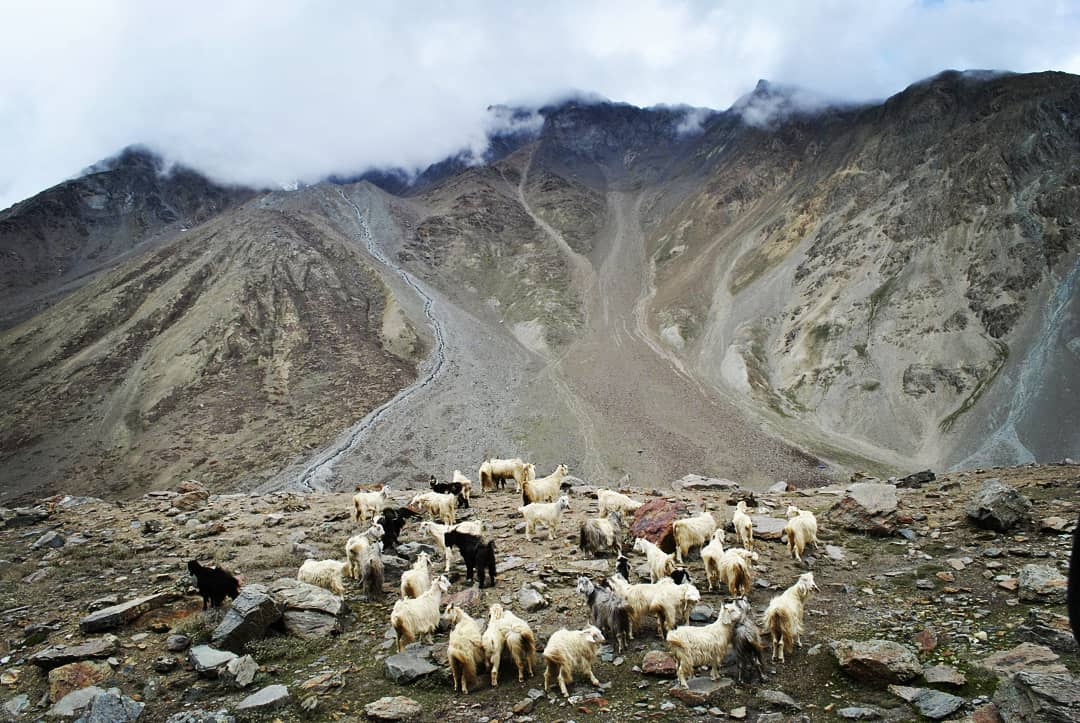 Unlike their counterparts in the plains, life of herbivores in the dry and arid regions of Spiti Valley is tough.  #himalayangoats #mountaingoats #himalayanmountaingoats #himalayantahr #chandrataallake #lahaul #spiti #himachaltourism #spitiroadtrip #IncredibleIndia https://t.co/p2sqAM0YPQ