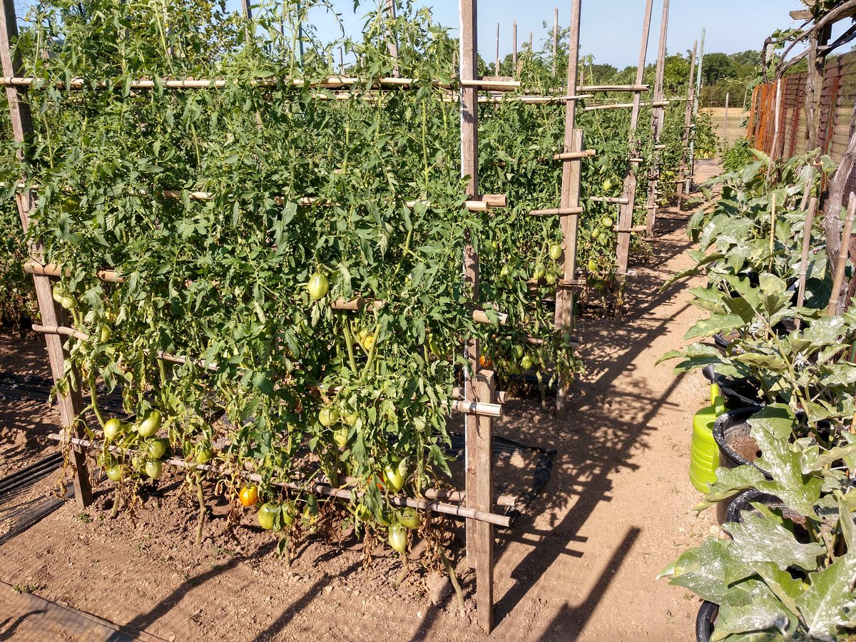 @PAAgriculture @PAPreferred The DiSanto garden is doing our part! #Summertime #tomatoes twitter.com/PAAgriculture/…
