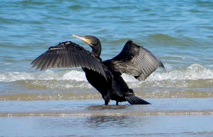 #birds #strand #aalscholver #nature #natuur #nikon #nikonfoto #naarbuiten #wandelenpic.twitter.com/zIzs7pQAlg