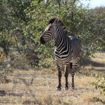 Image for the Tweet beginning: Hartmann's mountain zebra - can
