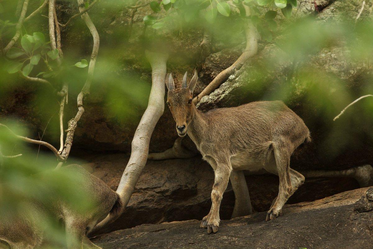 Endangered, endemic to western ghats, Nilgiri Tahr. #wildlifephotography https://t.co/aEx6vqJSD5