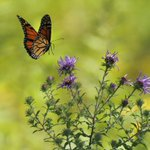 Image for the Tweet beginning: The Big Butterfly Count is