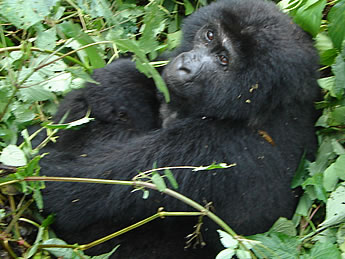 With two natural habitats that host over 50% of the world's remaining population of mountain gorillas, Uganda is an ultimate destination for gorilla tours.  https://t.co/PGADAy9dm8 #Ugandagorillasafaris #ugandagorillatrekkingtours #Ugandagorillatours #Ugandagorillatrekkingsafaris https://t.co/s1FBT0fPCZ