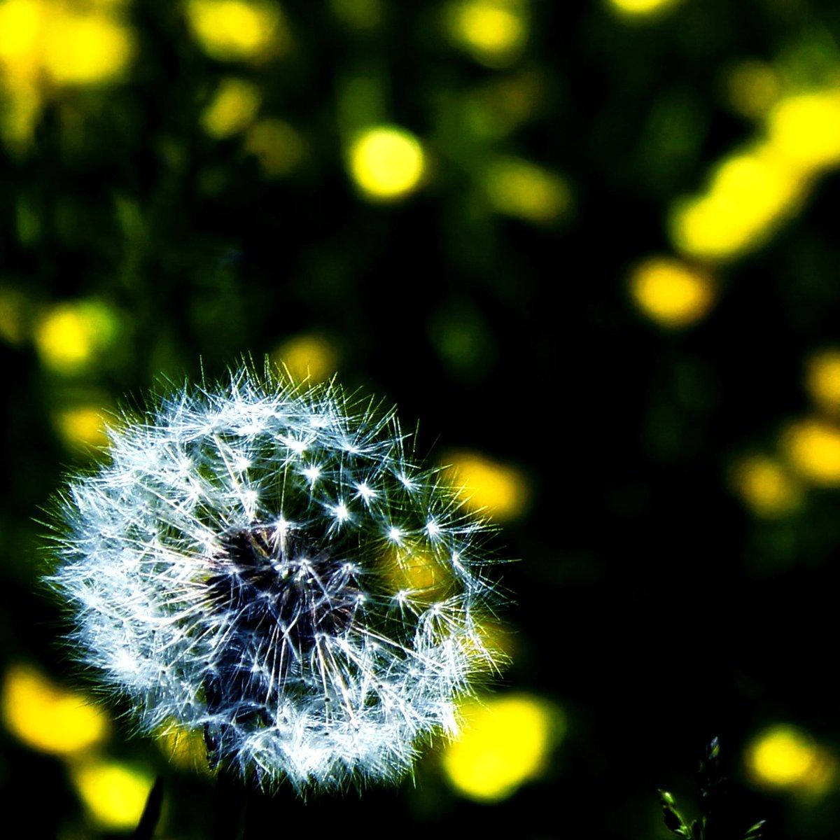Dandelion & Buttercups - #Dublin #Ireland #wednesdaymorning #yellow #delicate #flower #wildflowers https://t.co/Xnk7COI0Qd