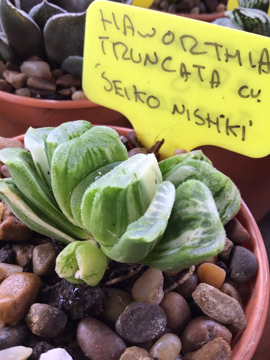 One of the more pleasant of the many forms of Haworthia truncata which have suddenly appeared is this cream-variegated version of the well-known 'Lime Green' - should be a stunner when it matures! BCSS #KirkstoneBotanica #CactusSucculent #KirkstoneHaworthias #Haworthiacollectionpic.twitter.com/RoTg6OkDsv