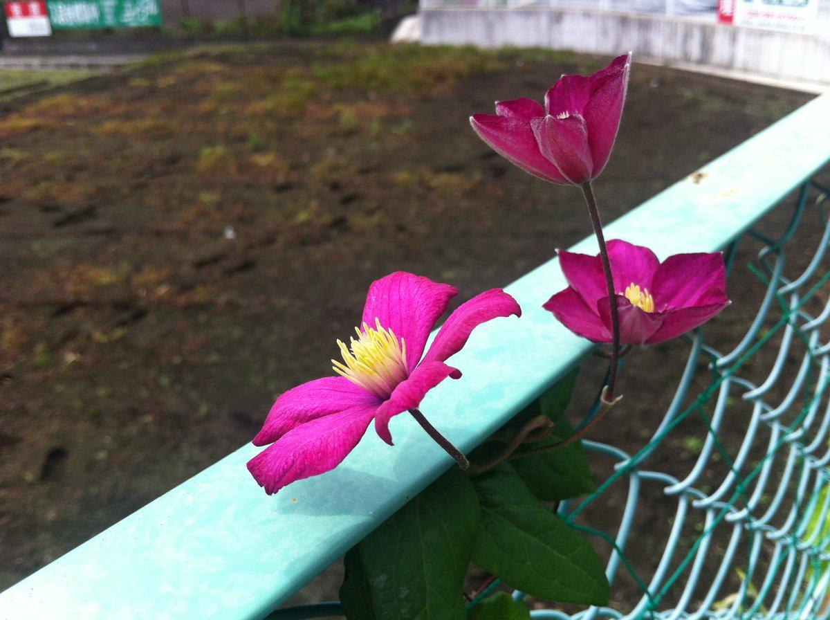 #お庭歳時記 #クレマチス(ジャックマニー系)がやっと花をつけました。 また、春の #ノースポール のこぼれ種の苗が小さな花をつけています。#菊 は親株も傷んで、差し芽のままで小さな花をつけました。。発育不全の #桔梗 を定植、うまく育つかな? <https://t.co/UJvgYoq9HR> https://t.co/l5rB8XrVDB