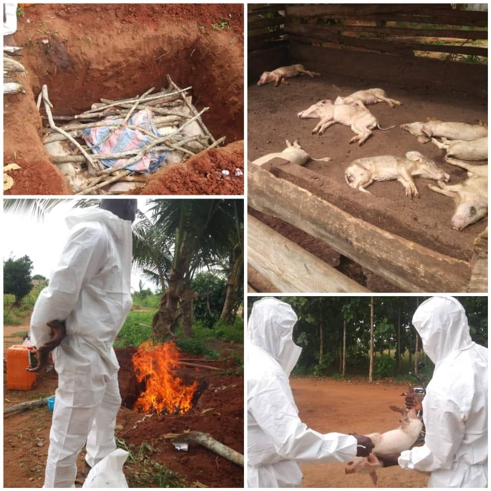 Alerte aux entrepreneurs éleveurs de porcs  Le FAIEJ informe les jeunes éleveurs de porcs qu'un foyer de la maladie de la Peste Porcine Africaine (PPA) a été détecté dans un élevage porcin situé à Tsévié  https://t.co/L4jzdRCK5J   #FAIEJ #Accompagnement #AlertePestePorcine https://t.co/koJkg7KGLG