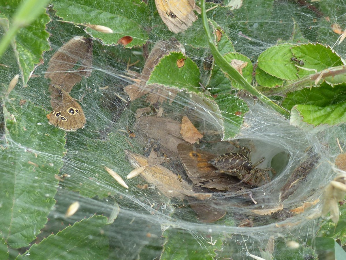 Another Labyrinth Spider Agelena labyrinthica #butterfly #recording. @BritishSpiders @JimAshton_ https://t.co/dfBc0Uze4D
