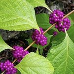 New research from @QuaveEthnobot from @EmoryCSHH shows that Callicarpa americana - the American beautyberry - is a beaut when it comes to boosting antibiotics' efforts against resistance bacteria (and, fun fact, a natural mosquito repellent!). Details: https://t.co/gWvcFYdX32
