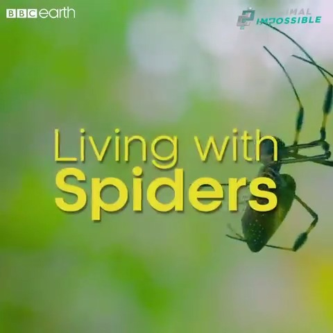 #AnimalImpossible presenters, Tim and Gendle, reflect on their time searching for the golden orb weaver spider 🕷🕸
