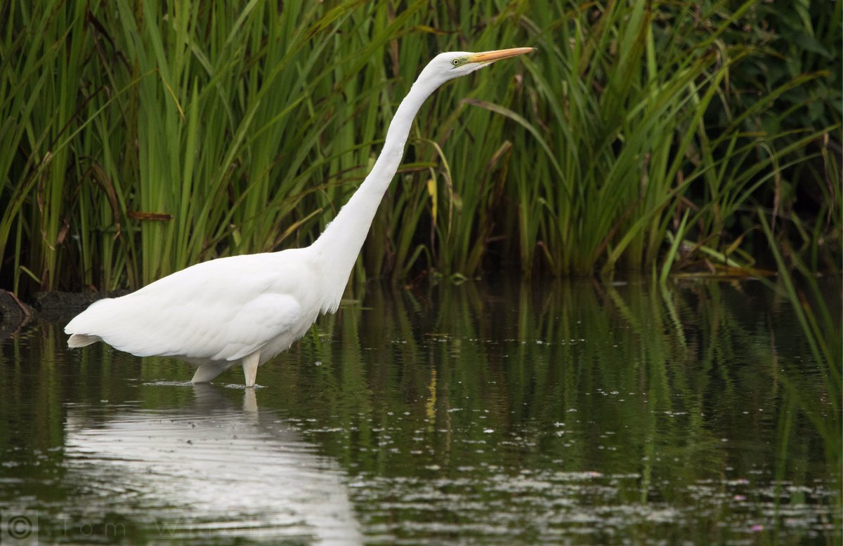 Fantastic views of this Great White Egret from the Peter Scott Hide @WWTLlanelli this afternoon. Probably my best views yet of this species. #carmsbirds