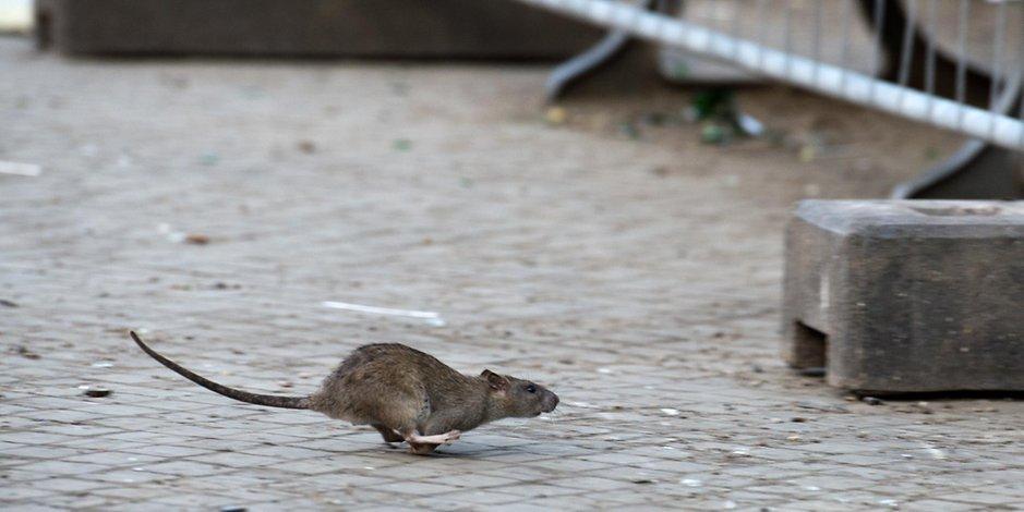 Ratten Bei Tönnies