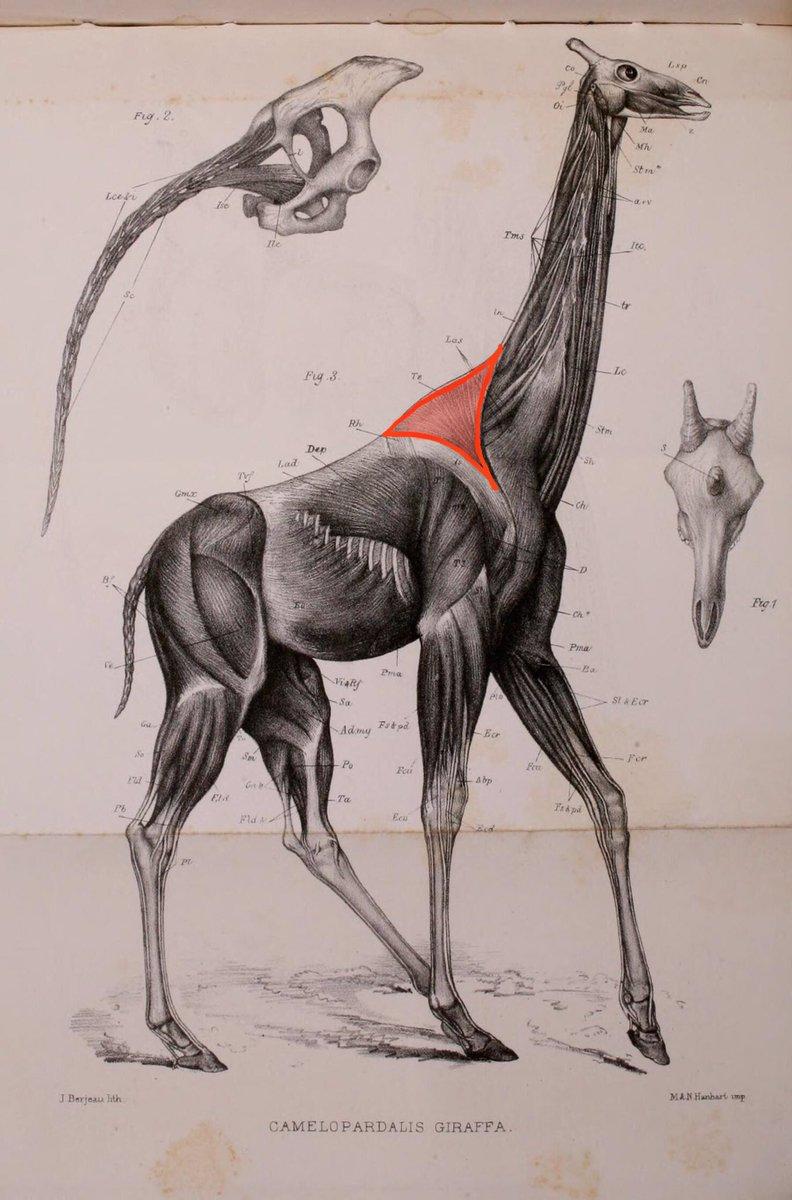 郡司芽久 キリン研究者 ヒトの僧帽筋と キリンの僧帽筋 体の大きさはキリンの圧勝ですが 僧帽筋の大きさは ヒトの方がやや大きいくらいです ヒトの画像はwikipediaより キリンの画像はmurie 1872 より T Co Ugvockk3tb T
