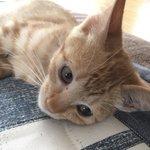Image for the Tweet beginning: 茶トラのちくわを譲渡してもらい1か月。体重は倍になり元気いっぱい。 動きが早すぎて眠い&寝てる時しか写真撮れないw #猫可愛い #猫のいる暮らし #猫のいる幸せ #保護猫