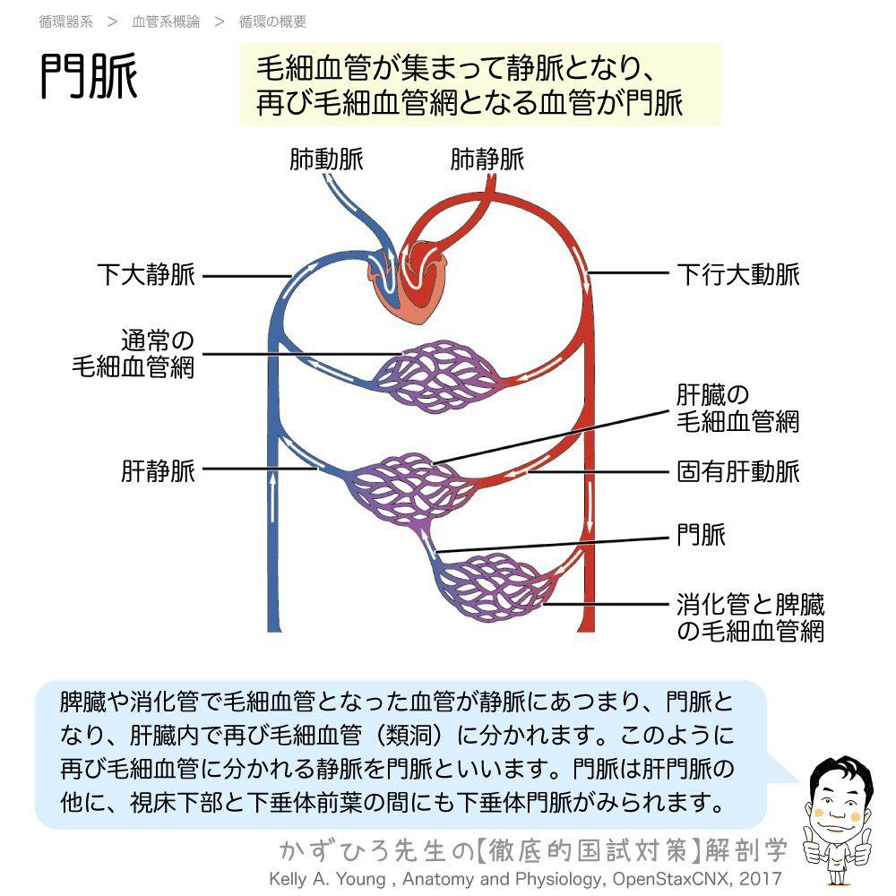 脈 下 垂体 門