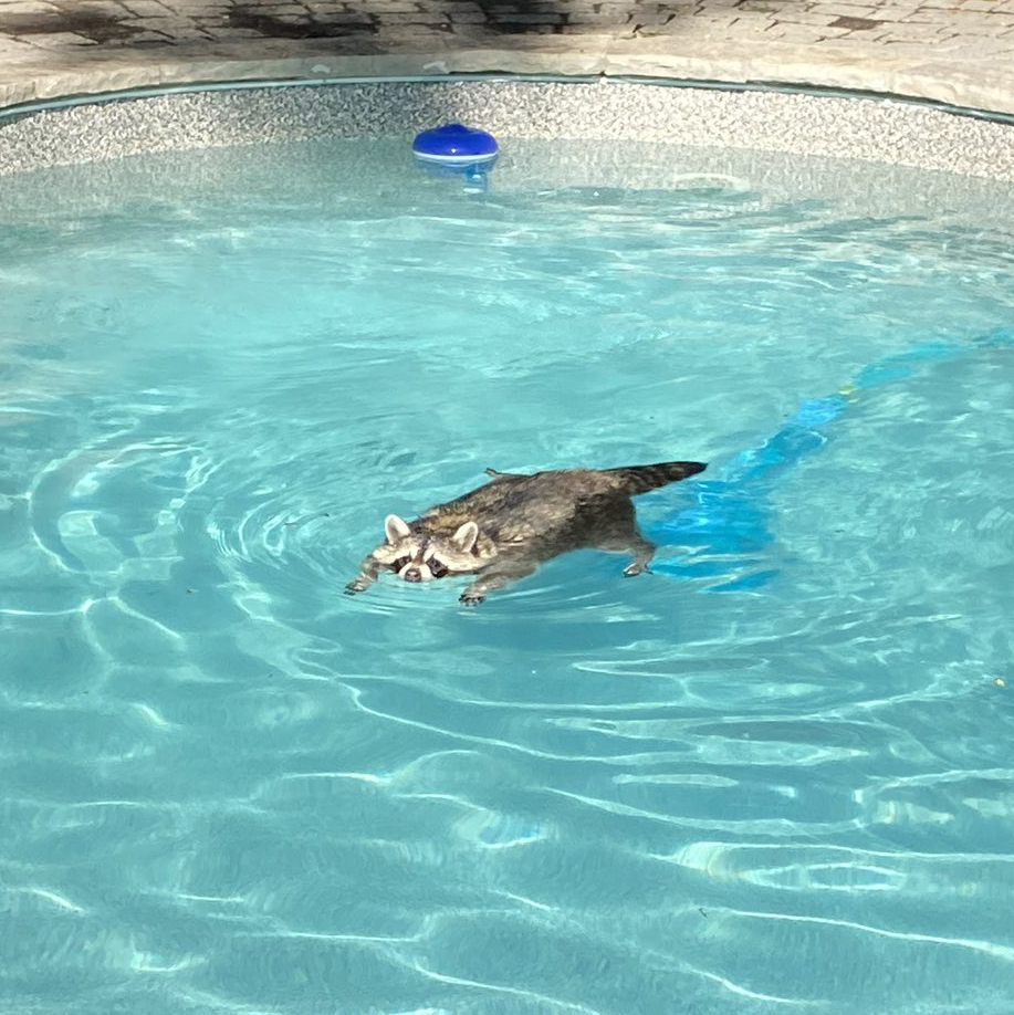 Just about everyone in Toronto is looking for a way to beat the summer heat — including the citys raccoons. Take a look as this plump trash panda takes a dip in a local couple's backyard pool. | @CBCToronto
