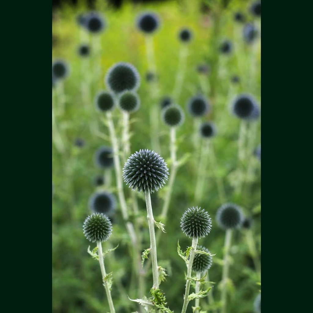 A striking display of globe thistles, (echinops) at Winterbourne. . . . @winterbournehg #winterbourne #winterbournehg #garden #flowers #flowerlovers #floweroftheday #flowerstagram #echinops #dof #raw_depthoffield #dof_brilliance #explore_dof #dofnature #… https://instagr.am/p/CDCM5qVjGv_/pic.twitter.com/l1Vg77Egl7