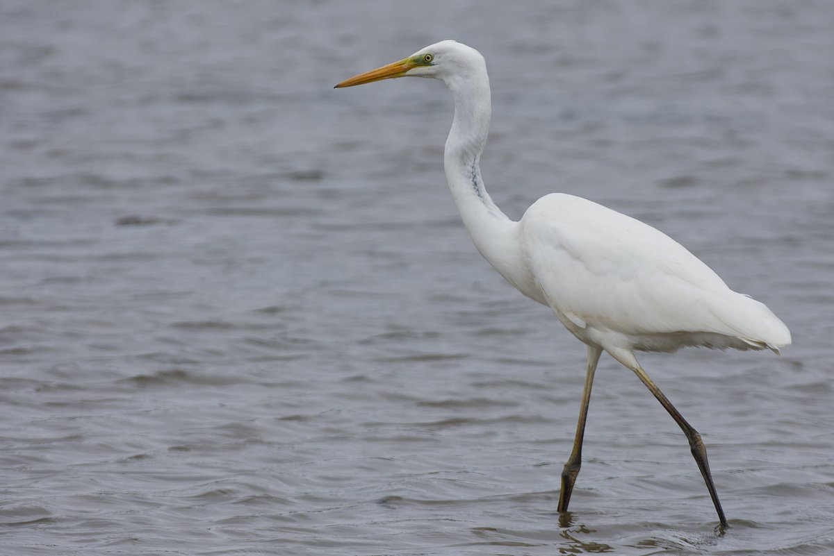 Was visiting family in Llanelli today so where better to nip into than @WWTLlanelli, plenty on show including a Greenshank and Spotted Redshank but definite highlight was staggeringly close views of the Great White Egret from the Goodhalls Hide!