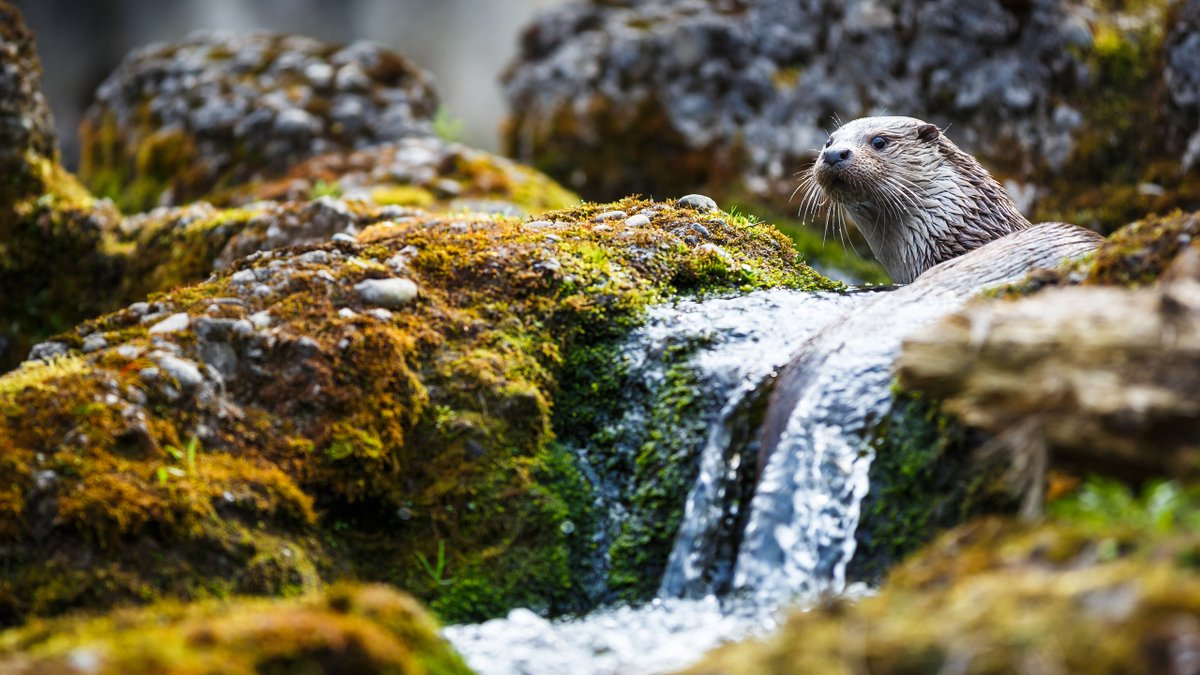 As well as keeping invasive species like mink at bay, otters ensure no one animal can dominate - maintaining a healthy ecosystem & rich biodiversity > features.wwt.org.uk/natures-super-… #WetlandBiodiversityMatters