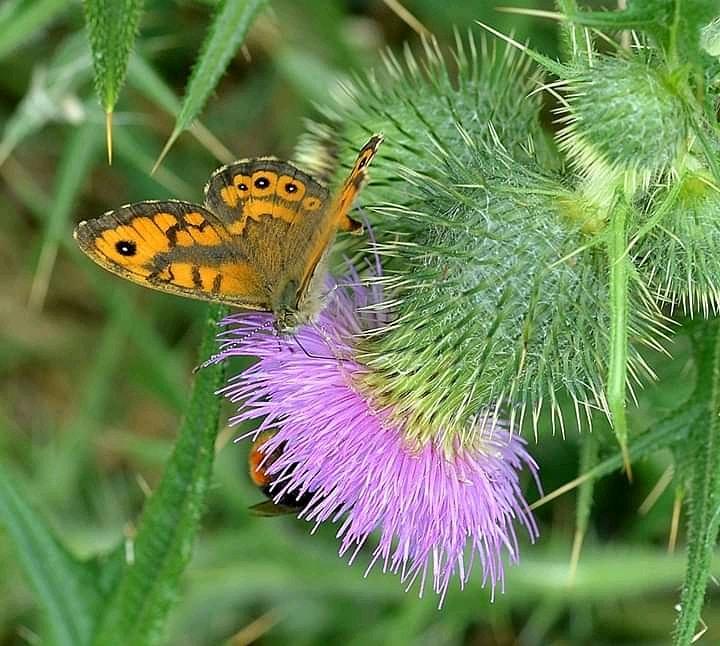 #zomer #nikonfoto #nikon #natuur #nature #polders #vlinderstigting #vlinders #butterflypic.twitter.com/E4yH1Cm1IL
