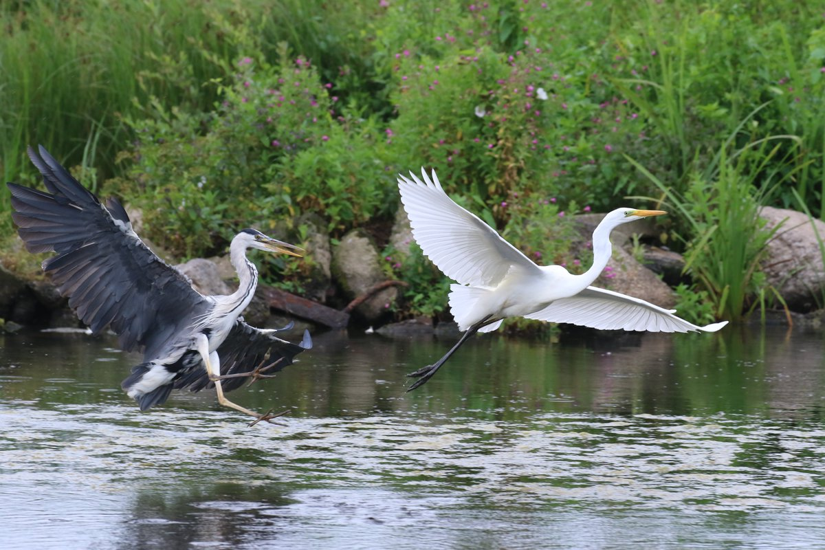 Saw this Grey Heron chasing the Great White Egret away at WWT Llanelli this lunchtime, pic taken from the Peter Scott hide @CarmsBirdClub @WWTLlanelli
