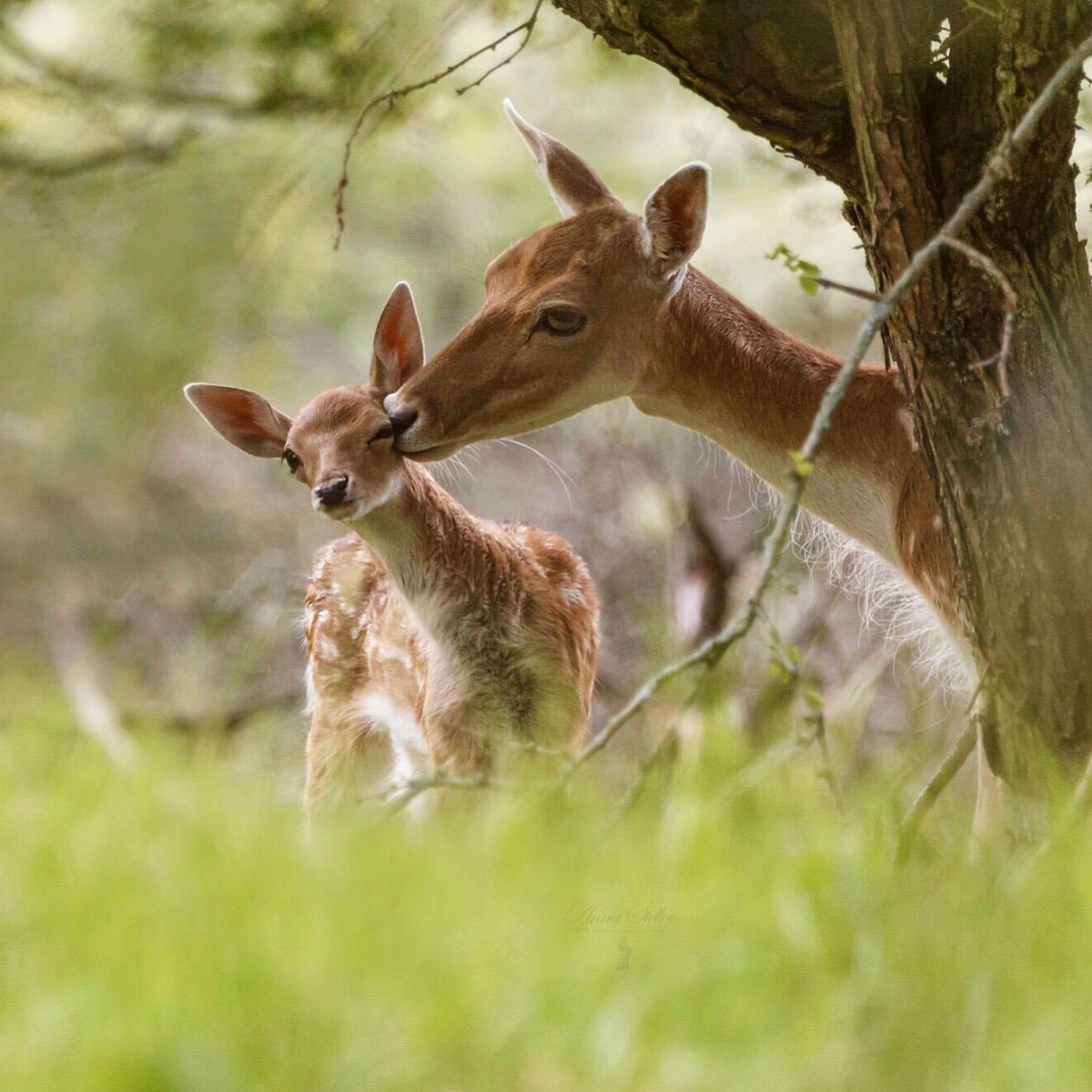Mum, youre embarrassing me... ⁣ Fallow deer are native to Asia and were introduced into the UK by the Normans during the 11th century. Females form large herds but will split into smaller groups when food becomes scarce. #EarthCapture by Anna Stelloo