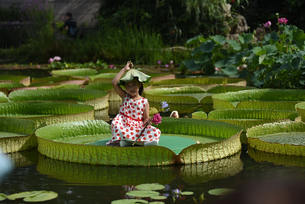 Children are enjoying summer sitting on giant leaves of Victoria water lilies in a botanical garden in Beijing, capital of China. https://t.co/75lmuSMIWH