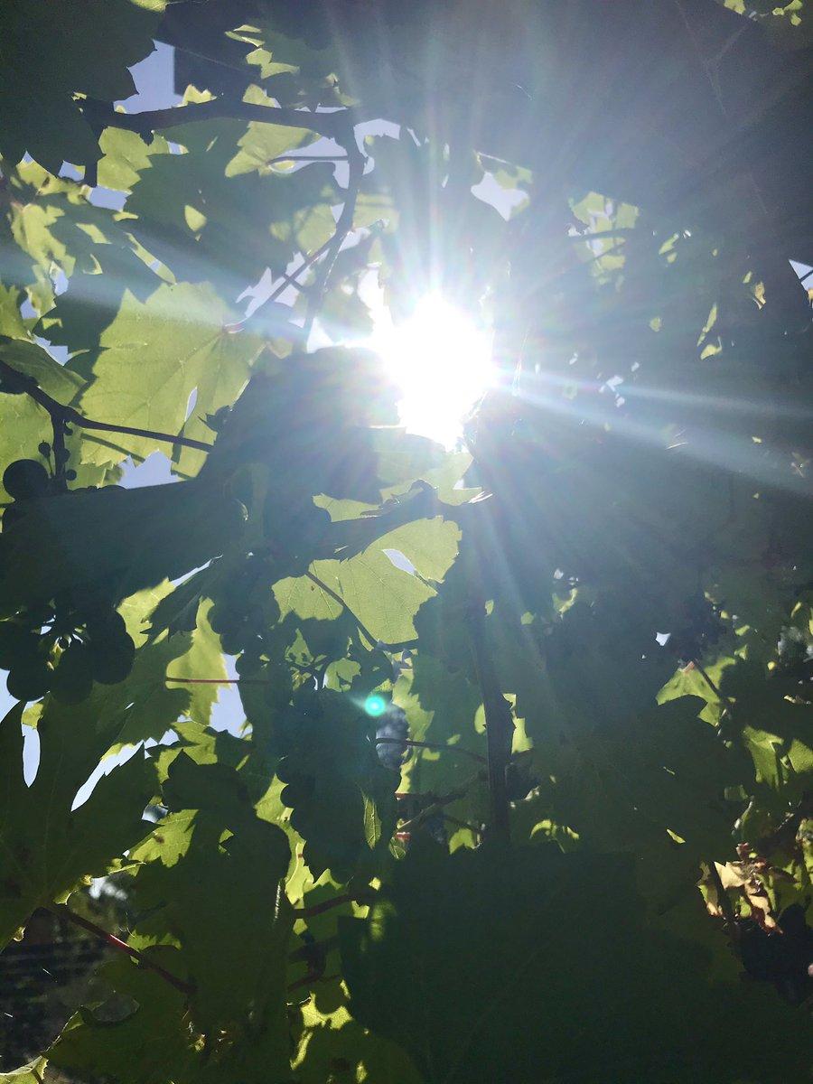Happy sunny Sunday! 'Charnos Beauty' so very fragrant..#Sundaymorning #weekendvibes #heatwave #flowers #gardenspic.twitter.com/VBKSXXYOEi